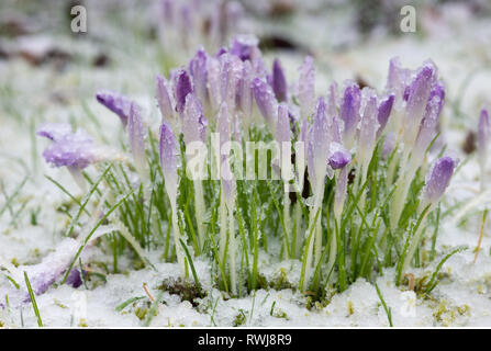 botany, crocus in the snow, Caution! For Greetingcard-Use / Postcard-Use In German Speaking Countries Certain Restrictions May Apply - Stock Photo