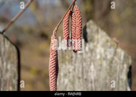 Dry catkins of reddish color hanging on the twig of birch or alder tree in close-up, outdoors in winter - Stock Photo