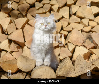 Cute young British Longhair cat kitten, black-silver-spotted-tabby, sitting on a stack of logs in a garden and looking curiously - Stock Photo
