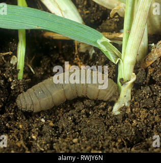 Crane fly larva or leatherjacket (Tipula oleracea) attacking young cereal plant at soil level - Stock Photo