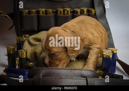 5 week old Working Cocker Spaniel Puppies on tweed cap and in shotgun cartridge bag - Stock Photo