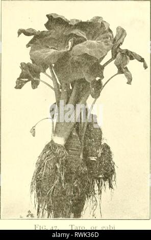 Elements of Philippine agriculture (1908) Elements of Philippine agriculture elementsofphilip00cope Year: 1908  THE GARDEN- 69 'roots' in the grouiKl; each of these soon forms several small plants. Beets. Several root crops of northern coun- tries have been introduced into the Philippines with- in the last few years. Among these arc the beet, turnip, red radish, carrot, and parsnip. The beet is the most important of these. It is a native of Europe. The real seid is very small, but is ;il- ways inclosed in a corky calyx. Iherc arc several different varieties of beets, which have different uses. - Stock Photo