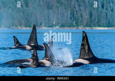 Orcas (Orcinus orca), also known as a Killer Whales, surface in Chatham Strait, Inside Passage; Alaska, United States of America - Stock Photo