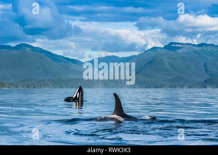 Orcas (Orcinus orca), also known as a Killer Whales, surface in Chatham Strait, spy hop in background, Inside Passage - Stock Photo