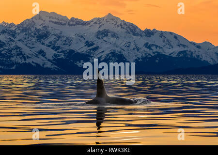 An Orca (Orcinus orca), also known as a Killer Whale, surfaces in Lynn Canal with the rugged Chilkat Mountains in the background, Inside Passage - Stock Photo