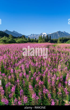 Fireweed (Chamaenerion angustifolium) blooms in a meadow, Mendenhall Glacier and Towers in the background, Southeast Alaska - Stock Photo