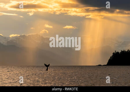 Humpback whale (Megaptera novaeangliae) lifts its flukes as it feeds in Lynn Canal at sunset, Southeast Alaska; Alaska, United States of America - Stock Photo