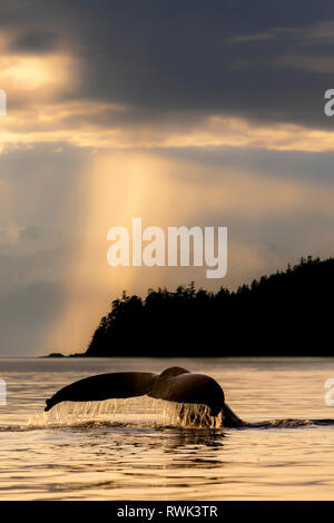 Humpback whale (Megaptera novaeangliae) lifts it's fluke as it feeds in Lynn Canal at sunset, Southeast Alaska; Alaska, United States of America - Stock Photo