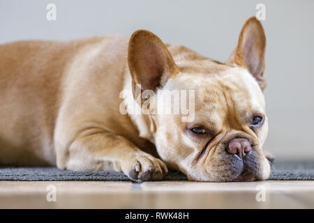 Young Male French Bulldog Lying Down and Falling Asleep. - Stock Photo