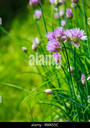 Close-up of Purple Chives blooming in the garden. - Stock Photo