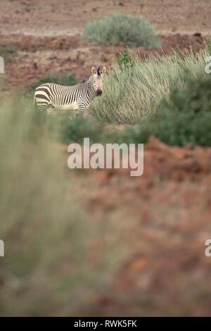 Zebra in Palmwag Concession, Namibia. - Stock Photo