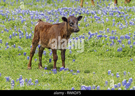 Texas longhorn calf standing among the bluebonnets in Hill Country, Texas, USA - Stock Photo
