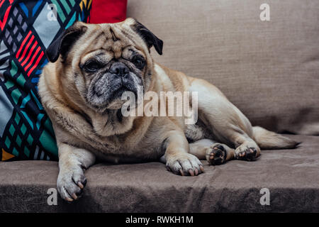 Portrait of a senior pug dog on the sofa - Stock Photo
