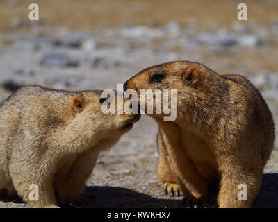 Two red haired Himalayan marmots tenderly touch each other's muzzles. - Stock Photo
