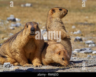 Three orange marmot stand in clearing among the stones, shot from close range. - Stock Photo