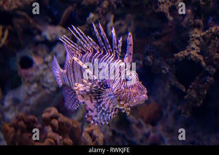 Lion fish. Exotic tropical fish. Sea life