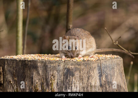 Rat brown (Rattus norvegicus) rodent thrives on waste food and refuse from humans. Here visiting bird feeding station for seed scattered on tree stump - Stock Photo