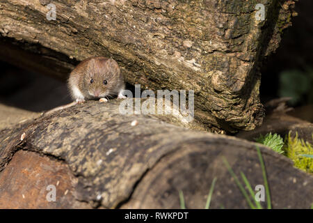 Vole bank (Myodes glareolus) red brown fur upper and creamy white underside small furry ears blunt nose short legs and tail. Small beady black eyes. - Stock Photo