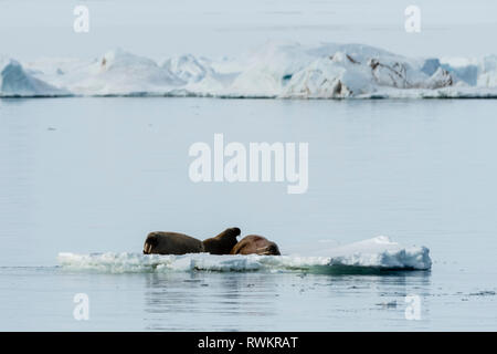 Atlantic walruses (Odobenus rosmarus) on iceberg, Vibebukta, Austfonna, Nordaustlandet, Svalbard, Norway - Stock Photo