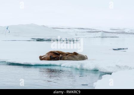 Atlantic walrus (Odobenus rosmarus) lying on iceberg, Vibebukta, Austfonna, Nordaustlandet, Svalbard, Norway - Stock Photo
