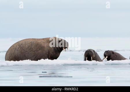 Atlantic walrus (Odobenus rosmarus) on and around icebergs,  Vibebukta, Austfonna, Nordaustlandet, Svalbard, Norway - Stock Photo