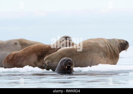 Atlantic walruses (Odobenus rosmarus) on and around iceberg, Vibebukta, Austfonna, Nordaustlandet, Svalbard, Norway - Stock Photo