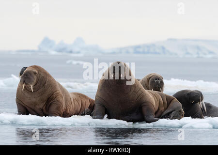 Atlantic walruses (Odobenus rosmarus) on icebergs,  Vibebukta, Austfonna, Nordaustlandet, Svalbard, Norway - Stock Photo