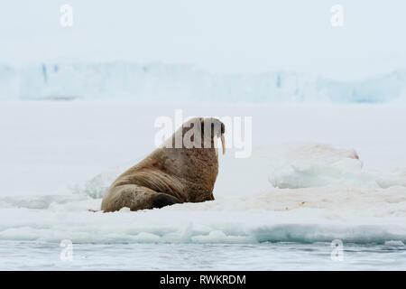 Atlantic walrus (Odobenus rosmarus) on iceberg,  Vibebukta, Austfonna, Nordaustlandet, Svalbard, Norway - Stock Photo