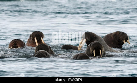 Atlantic walruses (Odobenus rosmarus) swimming in ocean,  Vibebukta, Austfonna, Nordaustlandet, Svalbard, Norway - Stock Photo
