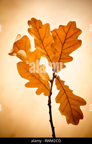 branch of Oak leaves in autumnal colors - Stock Photo