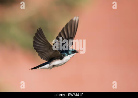 Tree swallow (Tachycineta bicolor) in flight, taken at Lac le Jeune, near Kamloops; British Columbia, Canada - Stock Photo