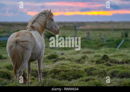 White Icelandic horse in it's natural setting; Iceland - Stock Photo