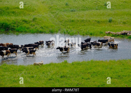 Herd of cows crossing river, Ural, Sverdlovsk, Russia - Stock Photo