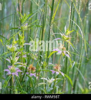 Spotted monarda (Monarda punctata) and native grasses in prairie garden in Central Vorginia. - Stock Photo