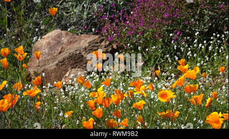 Springtime in the California desert - poppies and other wildflowers bloom next to a rock. - Stock Photo
