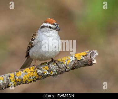 A male Chipping Sparrow, Spizella passerina, perched in Saskatoon, Saskatchewan, Canada - Stock Photo