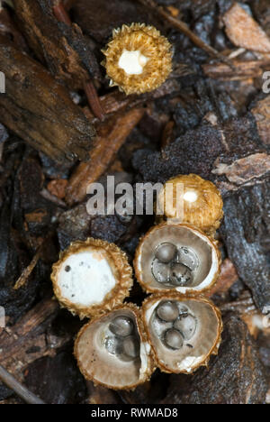 Bird's-nest fungi (Cyathus olla) showing fruiting bodies in various stages of maturity. Peridioles inside cuplike 'nests' resemble bird eggs, hence th - Stock Photo