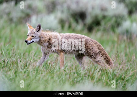 Coyote walking in grass, Grand Teton National Park; Wyoming, United States of America - Stock Photo