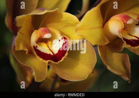 Beautiful, fresh cymbidium orchids flowers and plants at the Lincoln Park Conservatory in Chicago, Illinois. - Stock Photo
