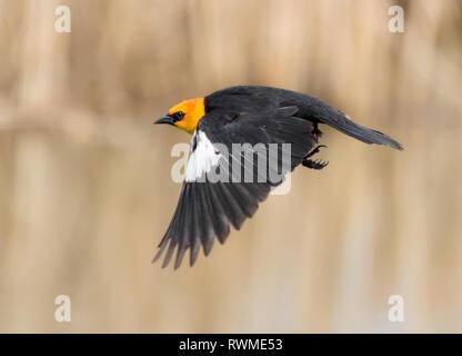 A male Yellow-headed Blackbird, Xanthocephalus xanthocephalus, takes flight in a marsh, in Saskatoon Saskatchewan. - Stock Photo