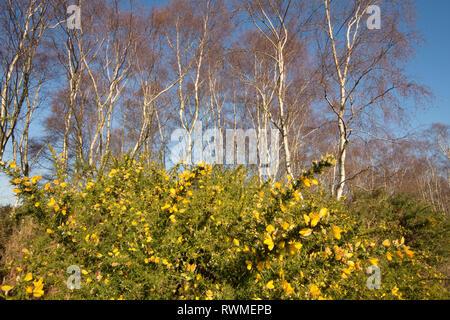 Common Gorse, Ulex europaeus, under Silver Birch trees, Betula pendula, on Iping Common, Sussex, UK. - Stock Photo