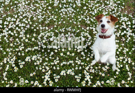 JACK RUSSELL DOG STANDING ON TWO LEGS ON SPRING DAISY FLOWERS. - Stock Photo