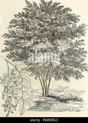 Ellwanger & Barry's descriptive catalogue Ellwanger & Barry's descriptive catalogue of hardy ornamental trees and shrubs, roses, etc., etc., etc ellwangerbarrysd1868moun Year: 1868  19    VIKGILIA LUTEA Thorn, (CRATAEGUS.) SPOTTED, (punctata striata.) RED WOODED, (sanguinea.) The five first on the list are well- known, beautiful flowering, small trees. The others are desirable on account of their peculiarities of growth, foliage and fruit. They offer a great variety and strong contrasts. For weeping varieties, see weeping trees. Virgilia, OR, YELLOW WOOD, (ln- tea.) One of the finest American  - Stock Photo