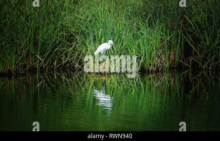 Little egret (Egretta garzetta) is a species of small heron in the family Ardeidae. White bird with a slender black beak, long black legs and, in the  - Stock Photo