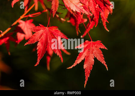 Red Japanese maple leaves in autumn; Oregon, United States of America - Stock Photo