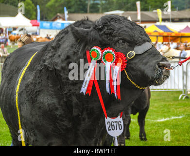 BUILTH WELLS, WALES - JULY 2018: Champion black bull with rosettes at the Royal Welsh Show in Builth Wells. - Stock Photo