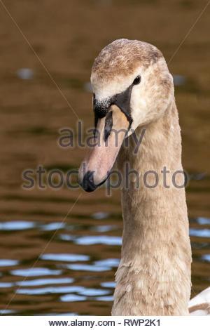 Wild swans at the beautiful lakes of Comer Woods, Dudmaston Estate, Quatt, Shropshire, United Kingdom - Stock Photo