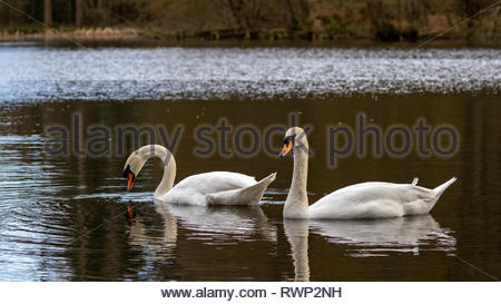 Wild swans at the beautiful lakes of Comer Woods, Dudmaston Estate, Quatt, Shropshire, United Kingdom - Stock Photo