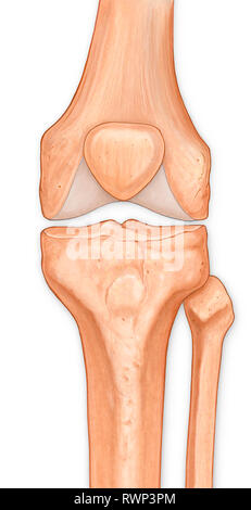 Illustration of the anterior knee, articular surface - Stock Photo