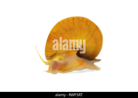 Gold Inca Snail (Pomacea bridgesii), or Apple Snail, on a white background - Stock Photo